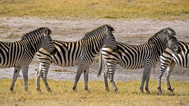 Zebraherde im Hwange NP © Diamir