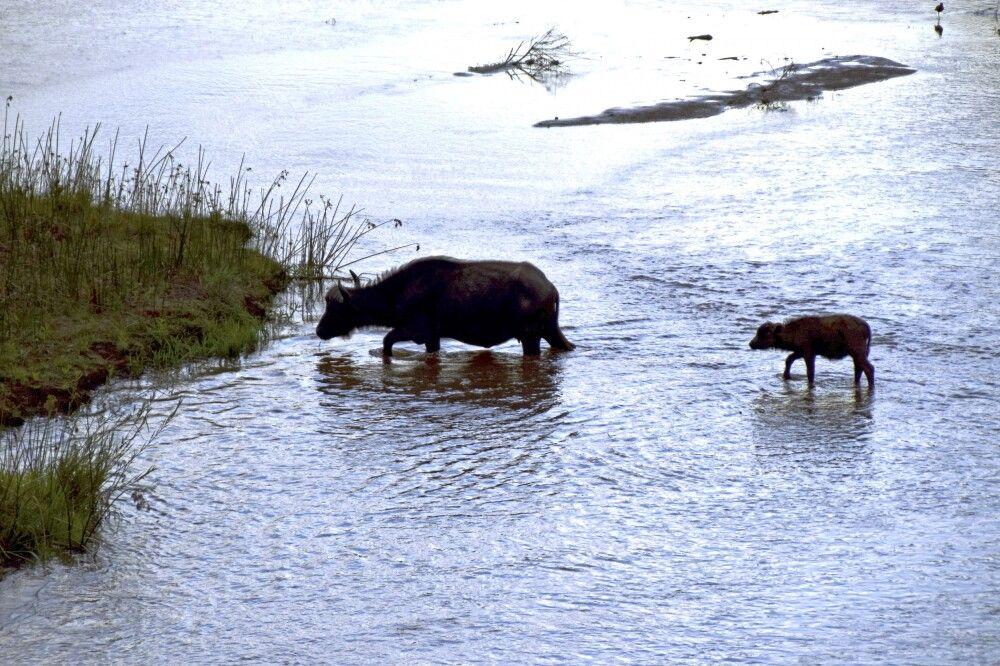 Krüger NP: Büffelkuh setzt mit ihrem Kalb auf die kleine Insel im Luvuvhu-Fluss über.