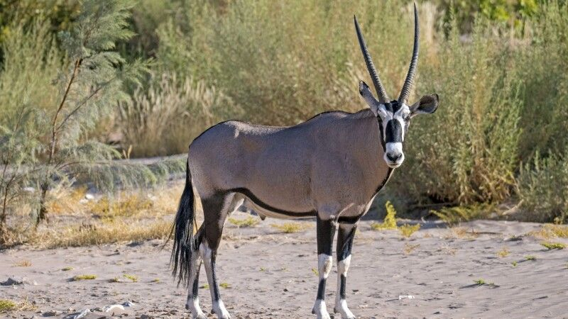 Oryx-Antilope © Diamir