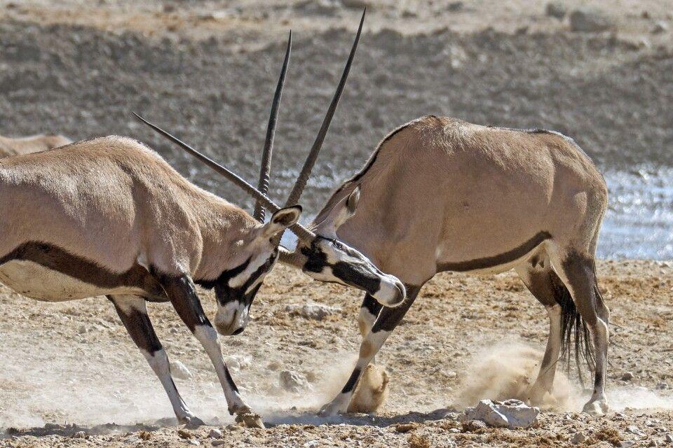 Wahrzeichen Namibias: Oryx-Antilopen
