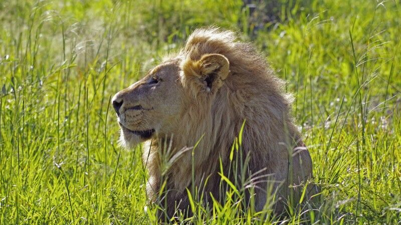 Löwenmännchen © Diamir