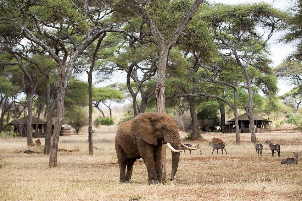 Ein Elefant im Swala Camp