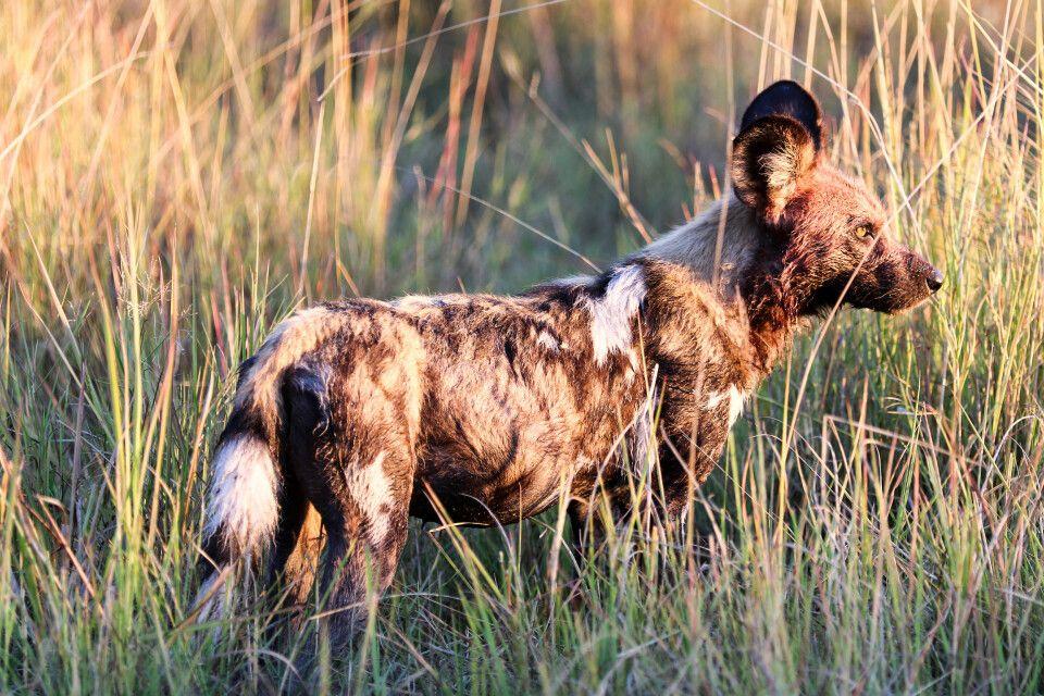 Wildhund im Okavango-Delta
