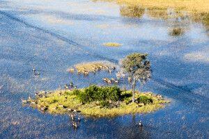 Antilopen im Okavango-Delta