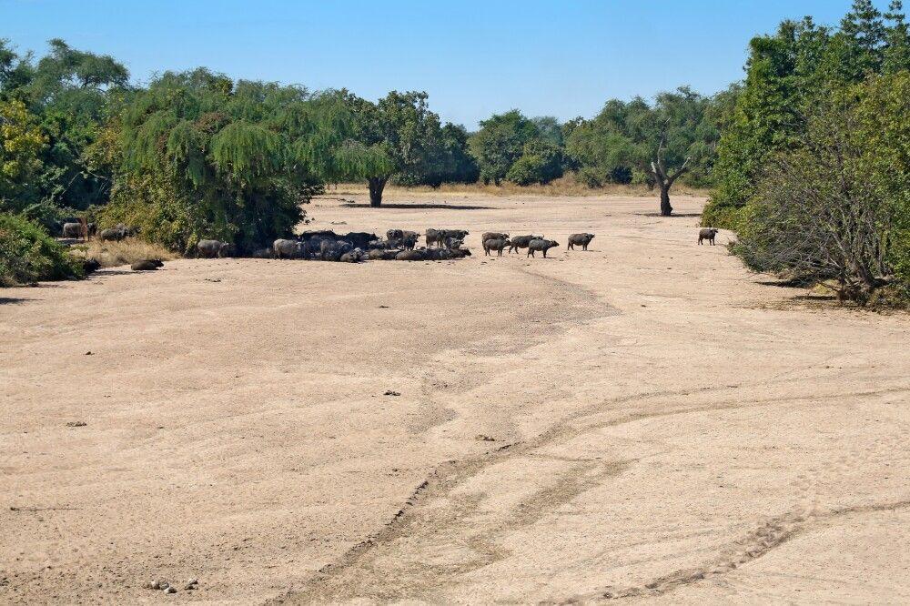 Büffelherde, South Luangwa-Nationalpark