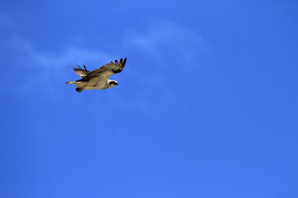 Seeadler über Australiens Küste