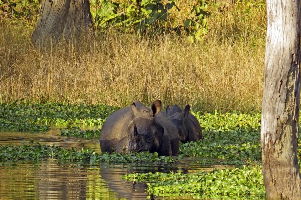 Nashörner beim Baden