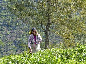 Teepflückerin bei Nuwara Eliya