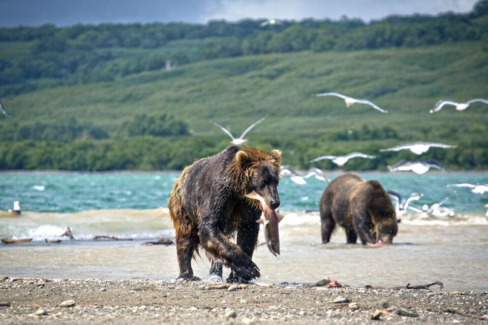 Bären beim Lachsfang