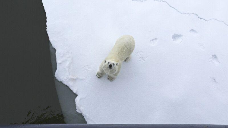 Eisbär von oben © Diamir