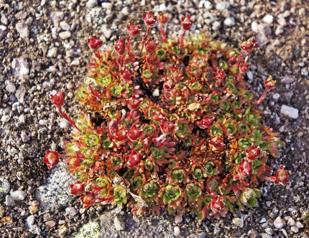 Zarte Arktis-Flora