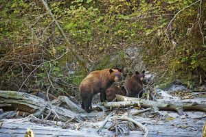Grizzly-Familie am Ufer