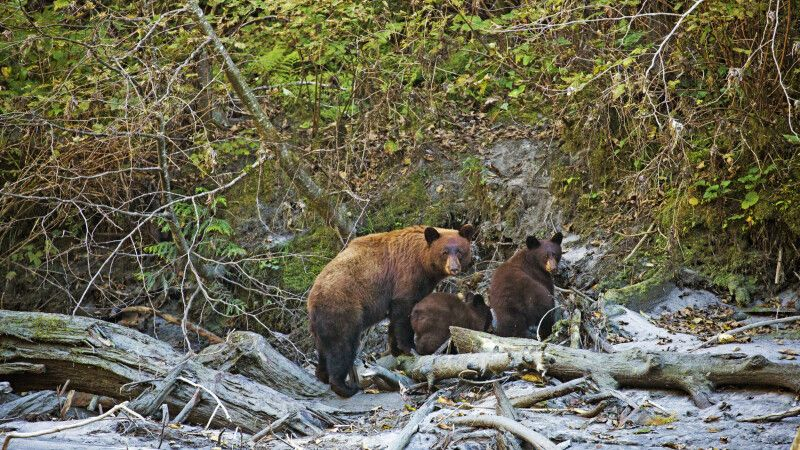Grizzly-Familie am Ufer © Diamir