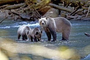 Grizzly-Familie im Toba River
