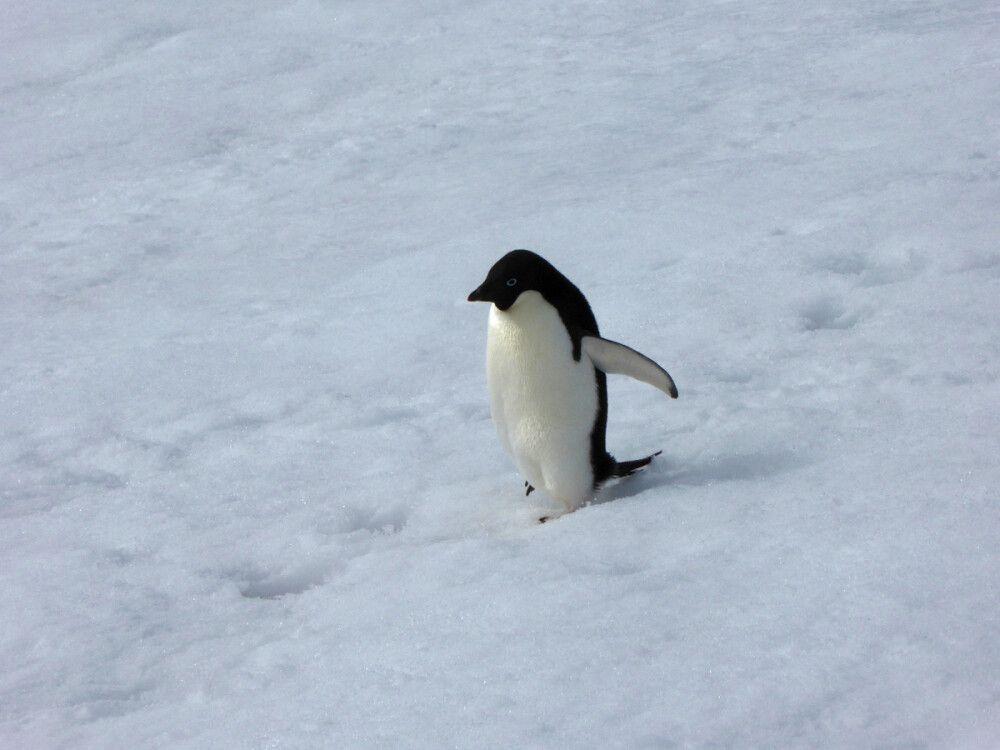 Adelie-Pinguin auf dem Heimweg
