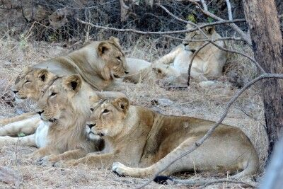 Löwen im Sasan-Gir-Nationalpark