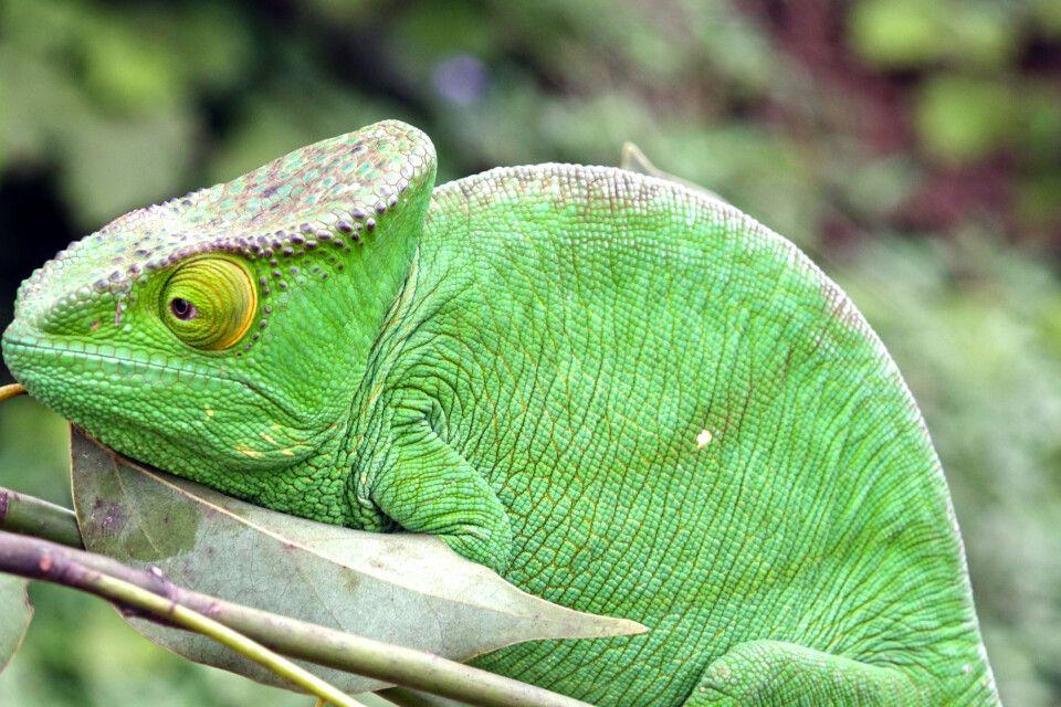 Chamäleon Weibchen (Calumma parsonii)