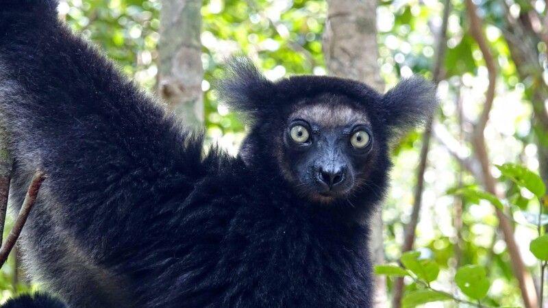 Indri-Indri © Diamir