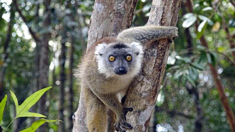Lemur im Palmarium Reservat © Diamir