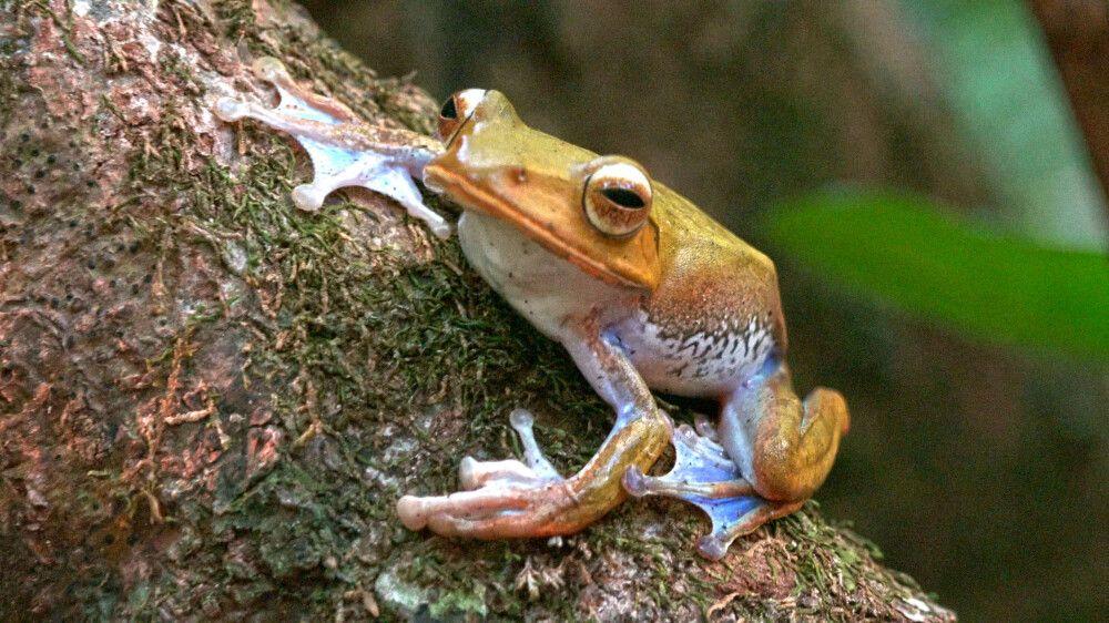 Madagaskarfrosch (Boophis spec)