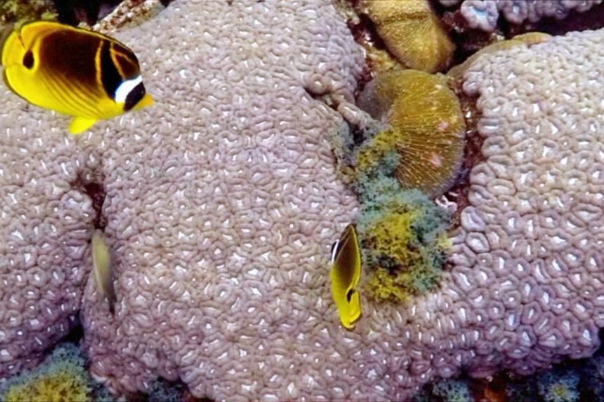 Unterwasserwelt_Monsichel-Falterfisch (Chaetodon Lunula).jpg