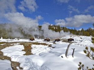 Bisons spazieren im Thermalgebiet von Old Faithful