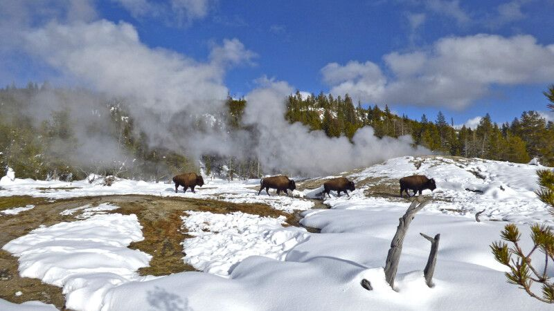 Bisons spazieren im Thermalgebiet von Old Faithful © Diamir
