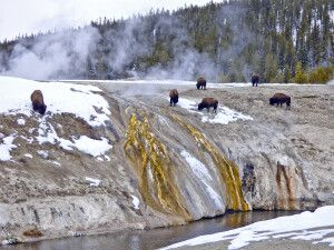 Bisons grasen im Yellowstone NP