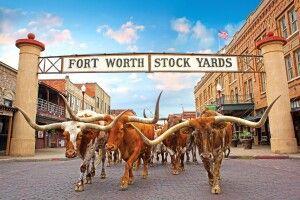 Viehherde in den Stockyards, Fort Worth, Texas