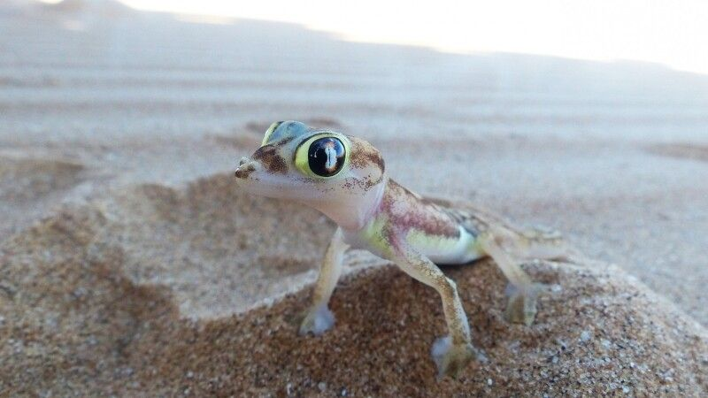 Putziger Gecko, Living Desert Tour, Swakopmund © Diamir