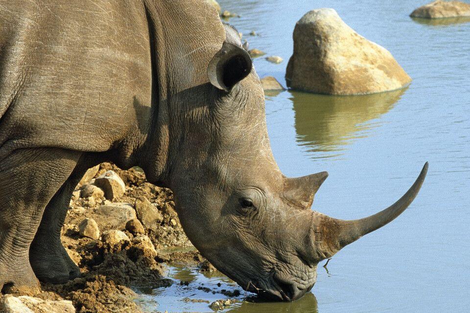 Nashorn an der Wasserstelle