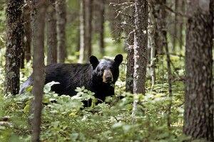 Schwarzbär, nördliches Ontario nahe Chapleau