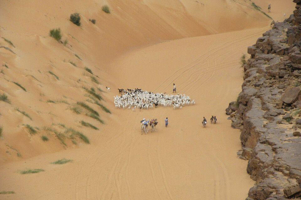 Ziegenhirten in der Sahara