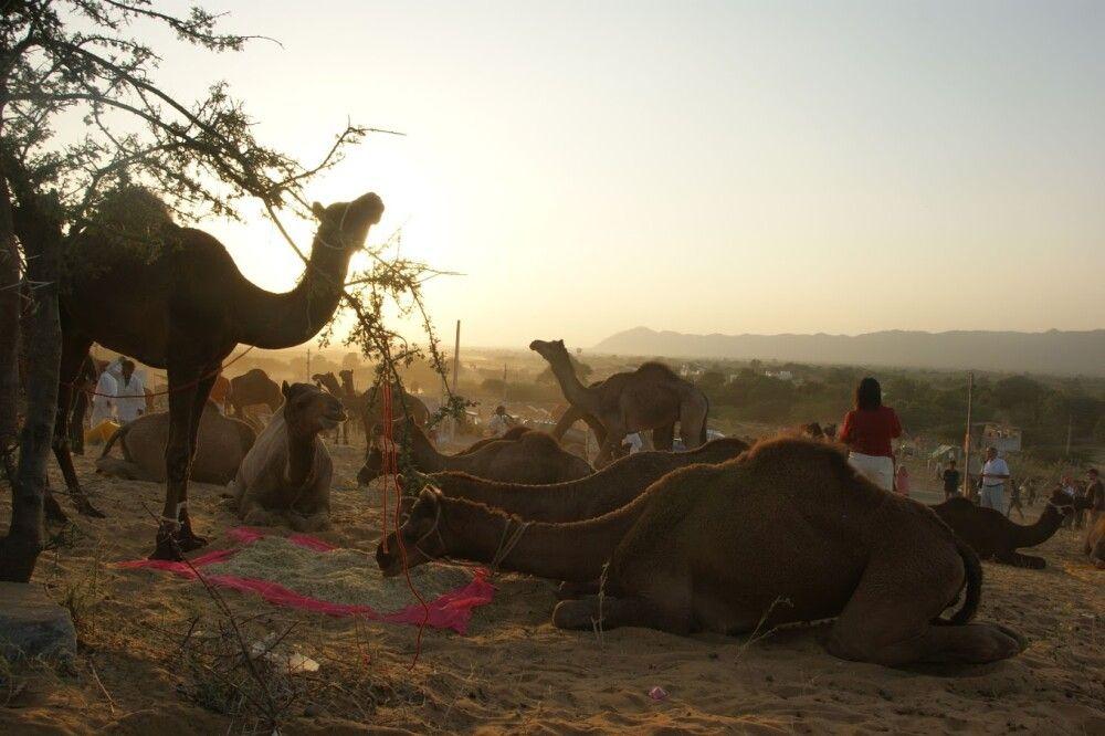 Kamelmarkt Pushkar Mela