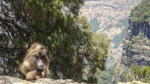 Blutbrustpavian in den Semien-Bergen