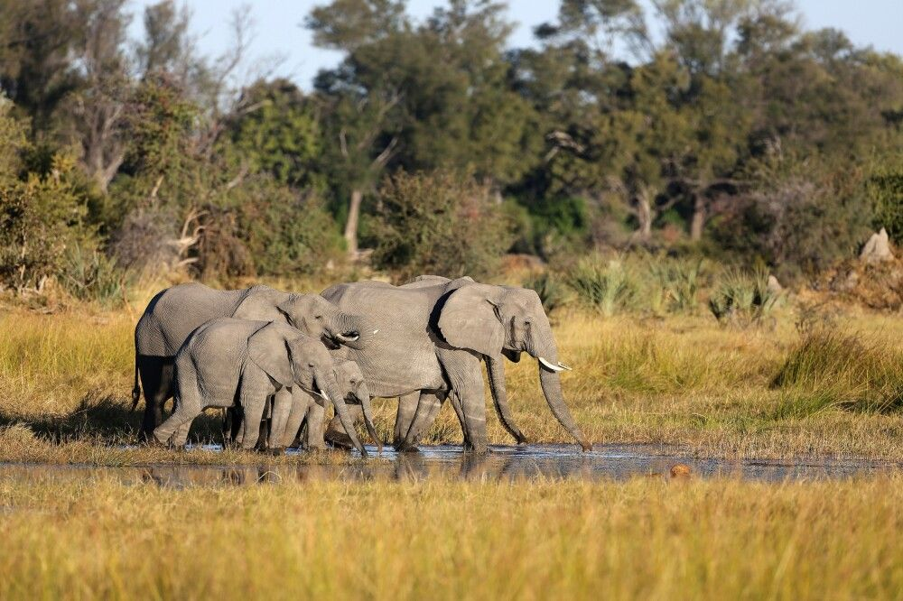 Elefanten im Okavango-Delta