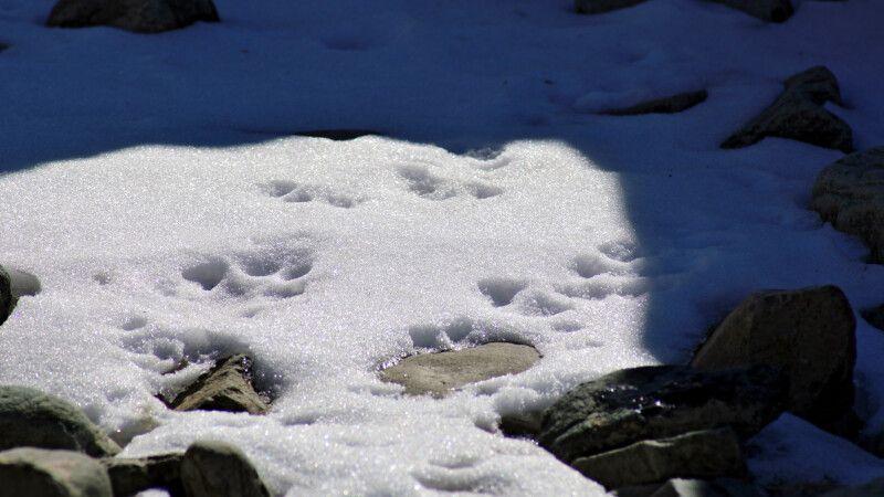 Spuren von Schneeleoparden © Diamir