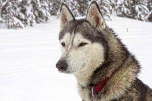 Porträt eines Siberian Husky