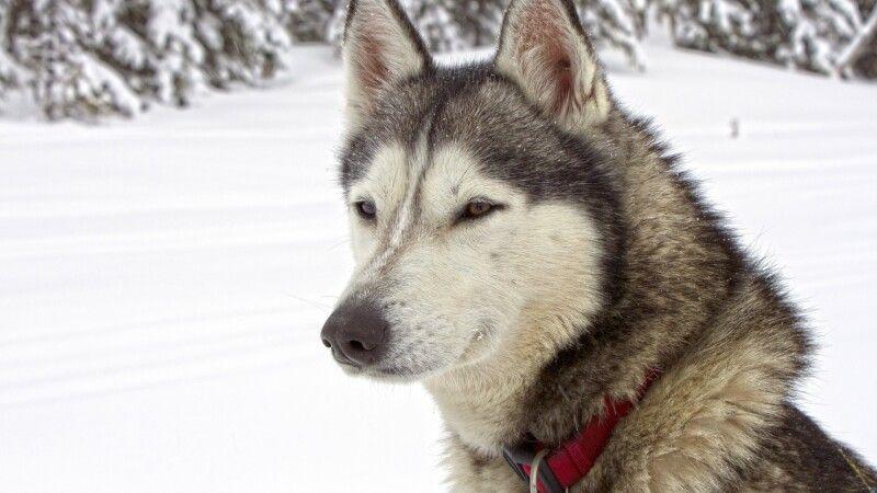 Porträt eines Siberian Husky © Diamir