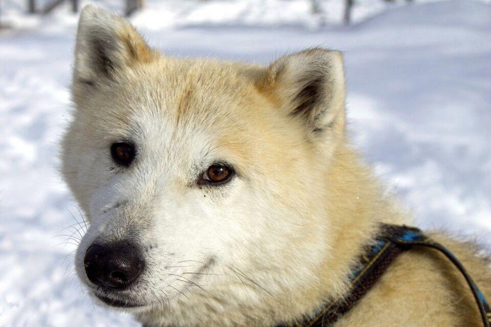 Freundlicher Grönland-Husky