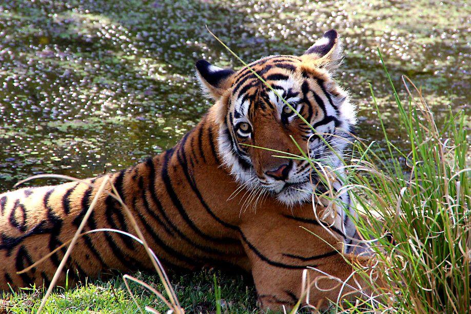 Tigerin Arrowhead im Ranthambore-Nationalpark
