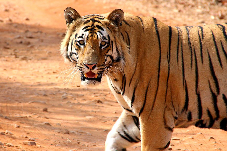Tiger Matkasua im Tadoba-Nationalpark