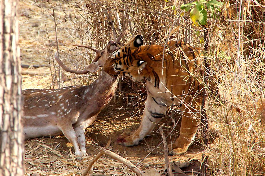 Tigerin Maya im Tadoba-Nationalpark