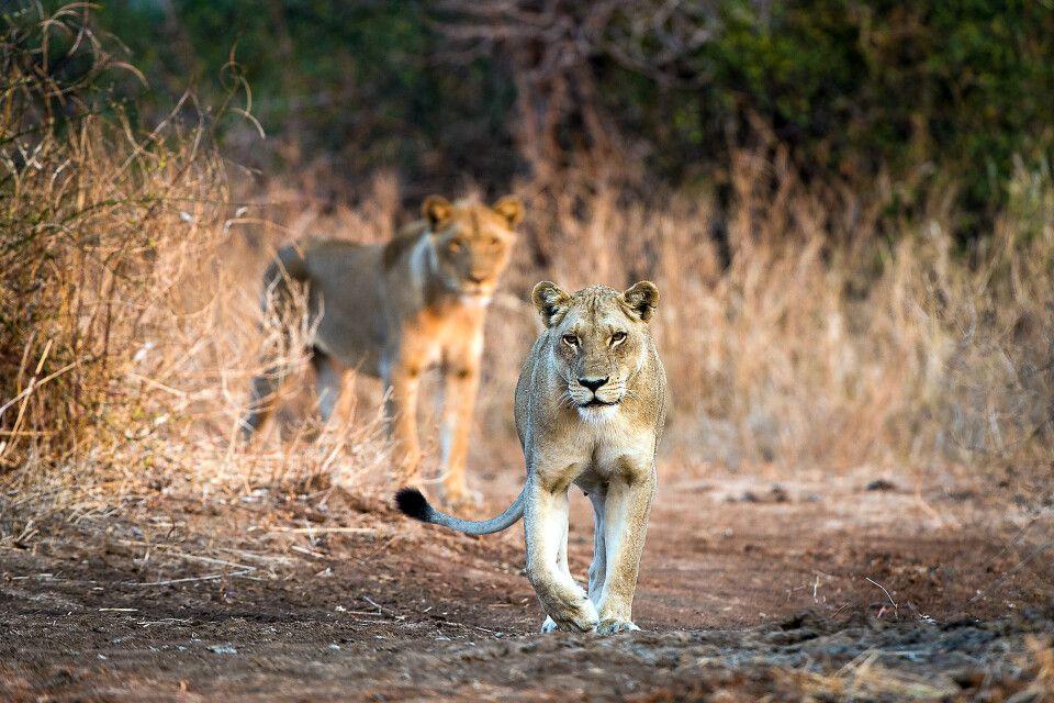 Löwen aufgespürt