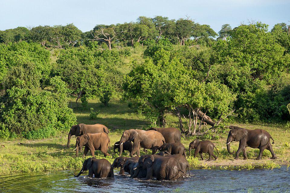 badende Elefanten im Chobe-Nationalpark