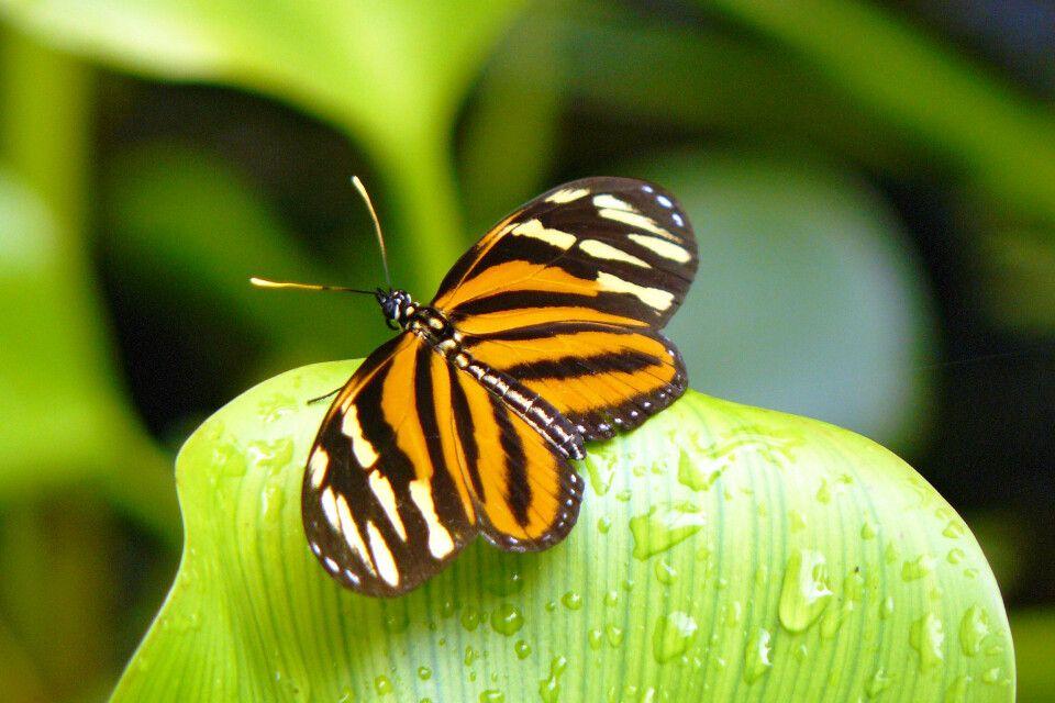 Schmetterling Belize