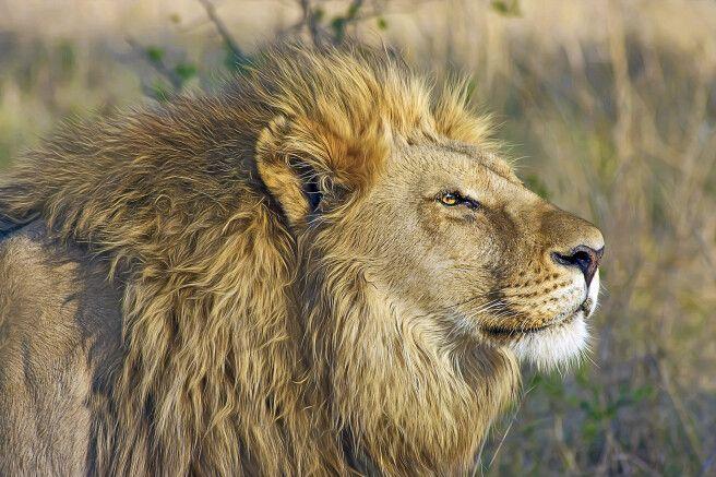 Löwe im Hwange-Nationalpark