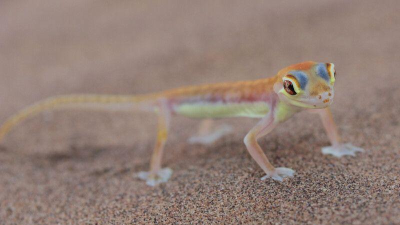 Palmato Gecko © Diamir