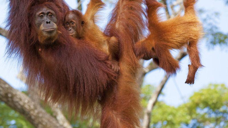 Malaysia – Borneo – Orang-Utan © Diamir
