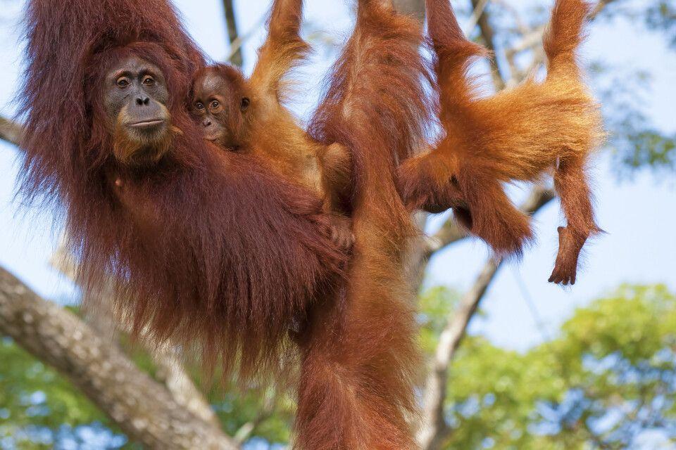 Malaysia – Borneo – Orang-Utan